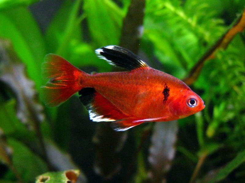 Аквариумная рыбка Минор.