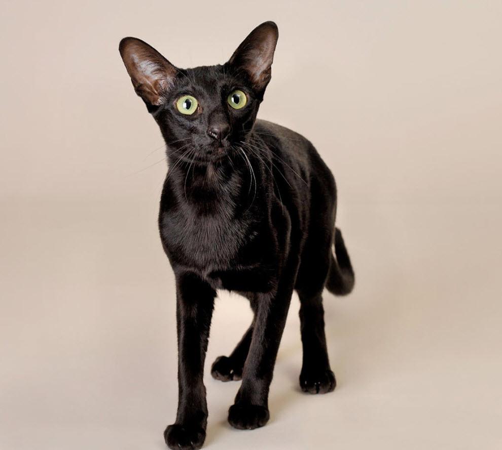 Кошка, порода Ориентальная