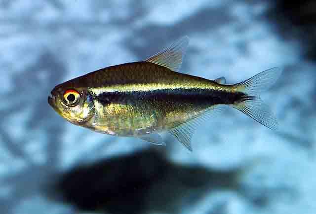 Аквариумная рыбка Чёрный неон.