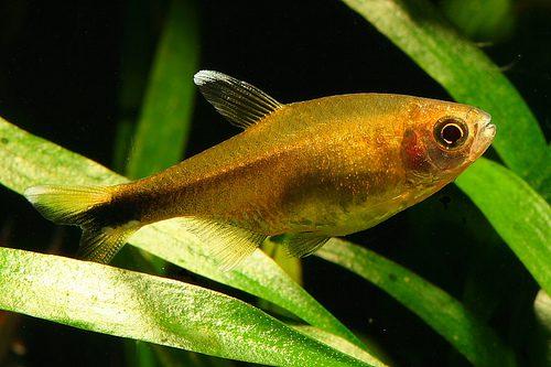 Аквариумная рыбка Тетра медная (хасемания ).