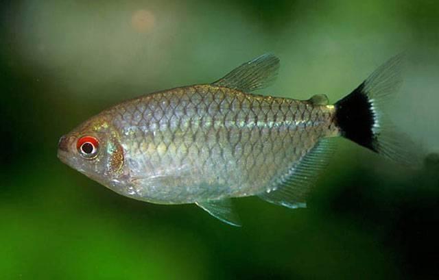 Аквариумная рыбка Филомена.