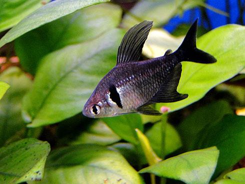 Аквариумная Рыбка Орнатус черный.