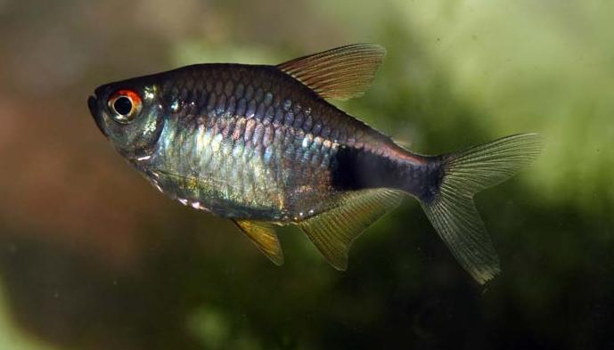 Аквариумная рыбка Пульхер.