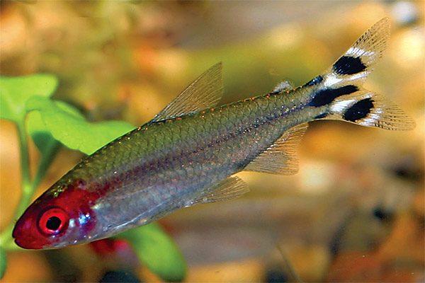 Аквариумная рыбка Красноносая тетра.
