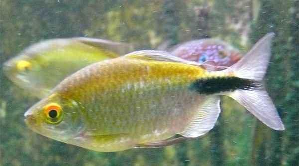 Аквариумная рыбка Конго желтый (арнольдихт) .
