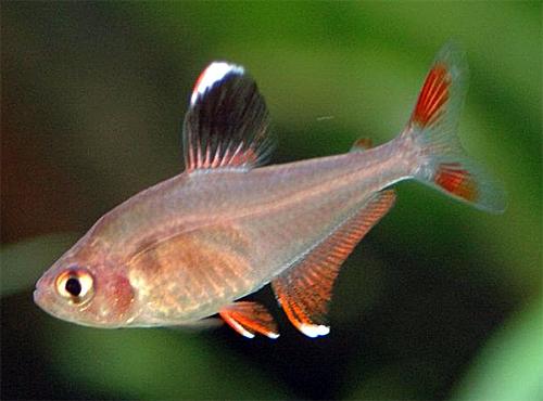 Аквариумная рыбка Орнатус обыкновенный.