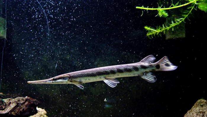 Аквариумная рыбка Мечерот.