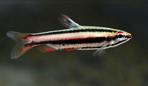 1946 Аквариумная рыбка Нанностомус маргинатус.