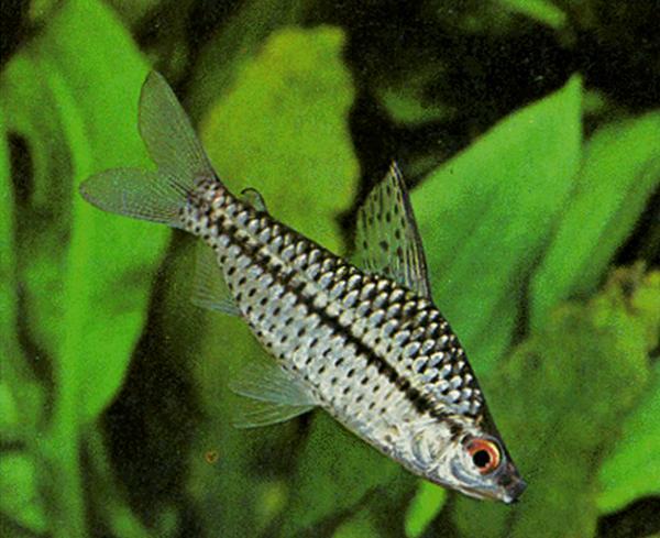 1998 Аквариумная рыбка Хилодус.