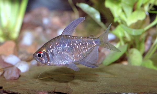 Аквариумная рыбка Бриллиантовая мюнхаузия (тетра).