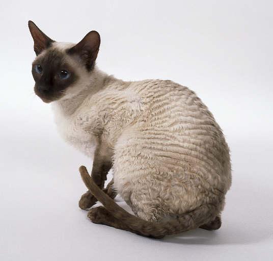 Кошка, порода Корниш Рекс