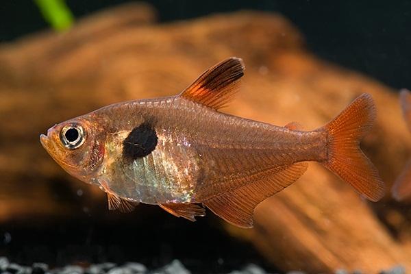 Аквариумная рыбка Орнатус красный (фантом).