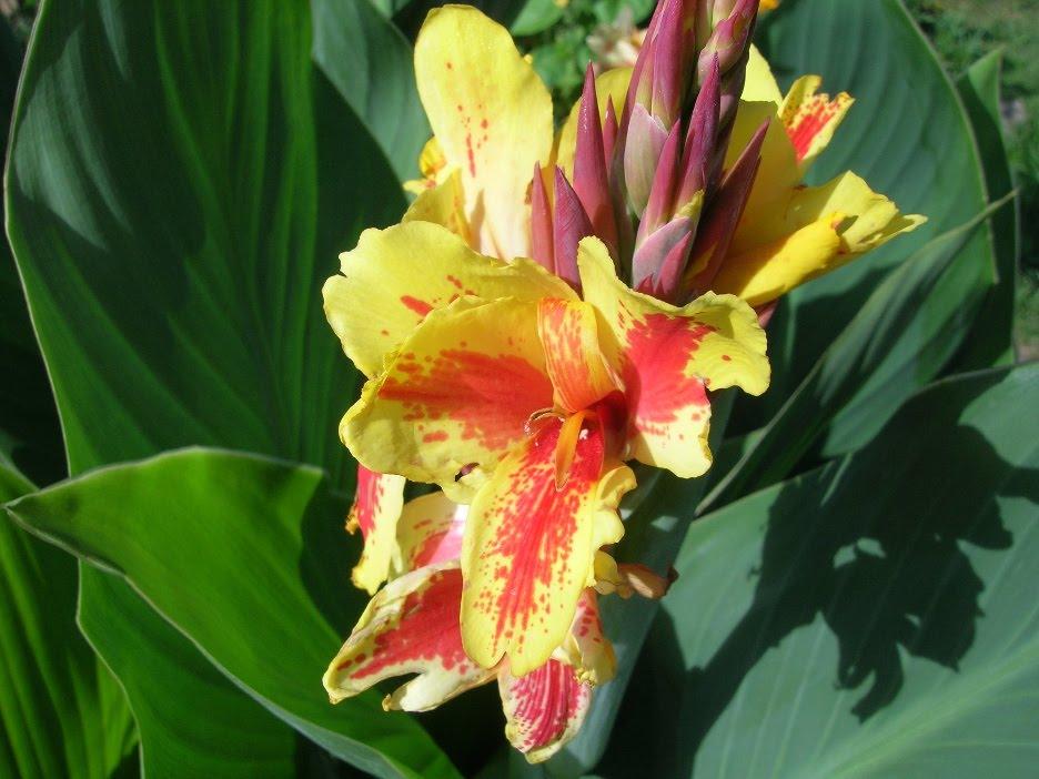 1819 Цветок Канны