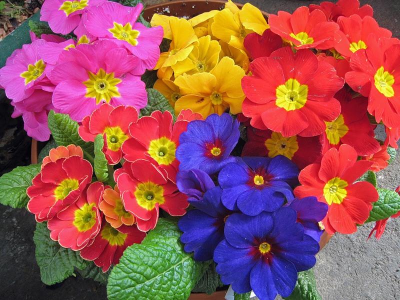 1821 Цветок Примула