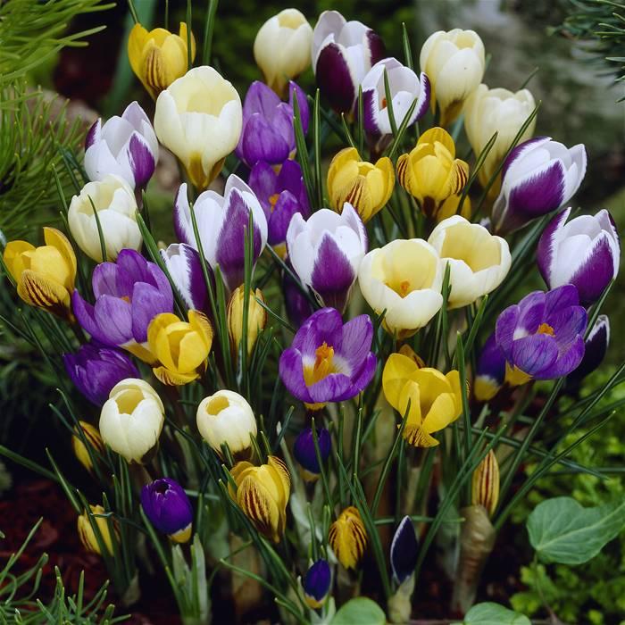 Цветок Крокусы (Шафран)