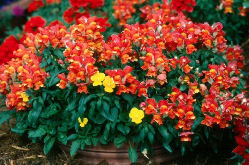 цветы львиный зев фото низкорослые