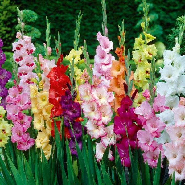 1825 Цветок Гладиолус