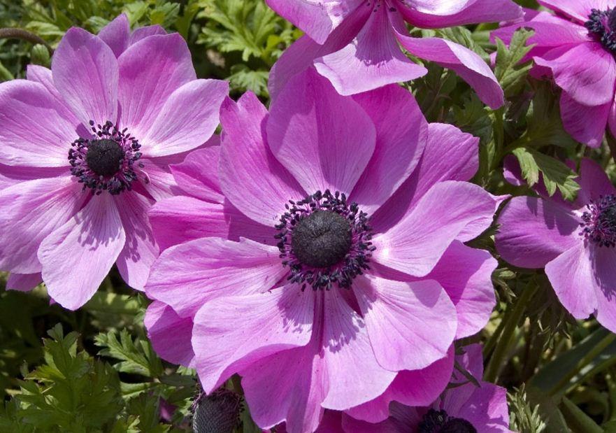 Цветок Анемона (Ветреница)