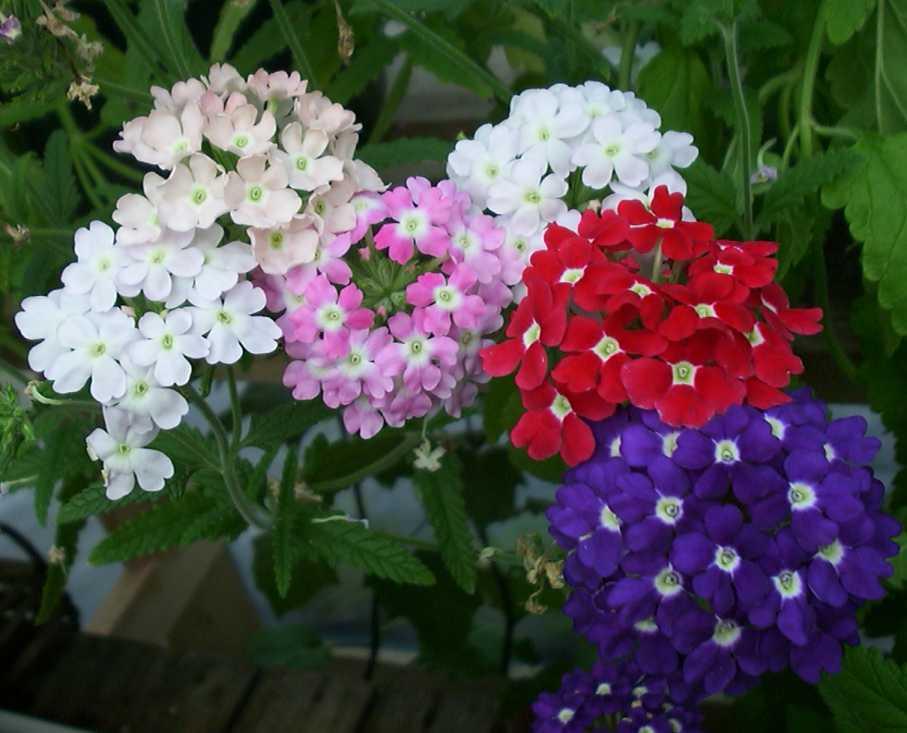 1823 Цветок Вербена