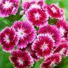 Цветок Гвоздика турецкая