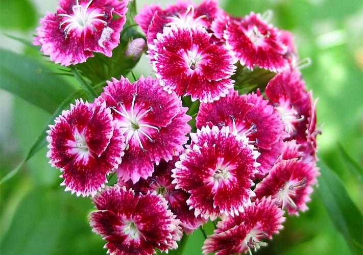 1839 Цветок Гвоздика турецкая