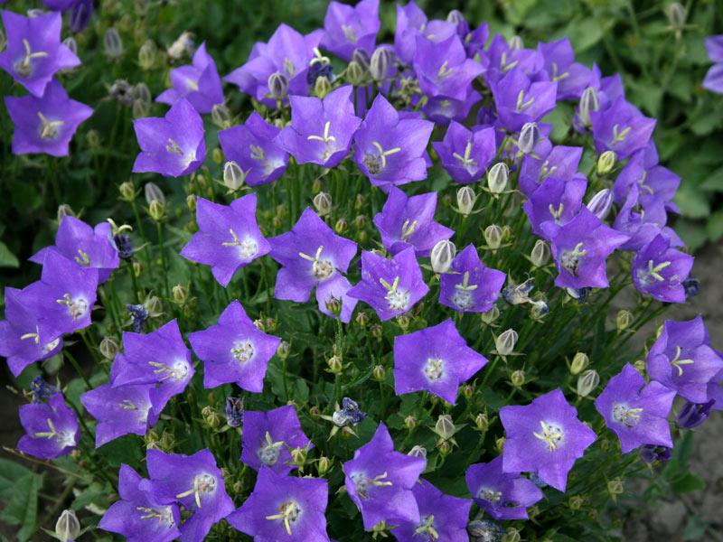 Цветок Колокольчики