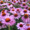 1760 Цветок Эхинацея