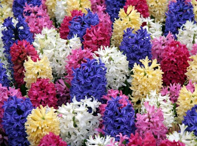 Цветок Гиацинты