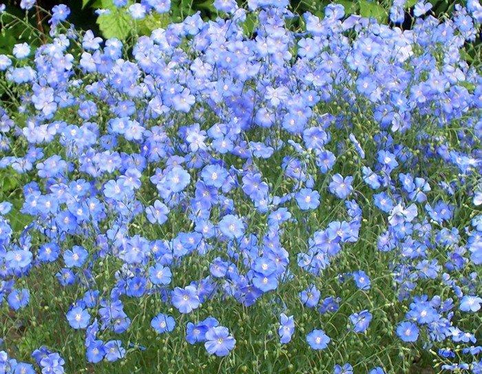 Цветок Лён