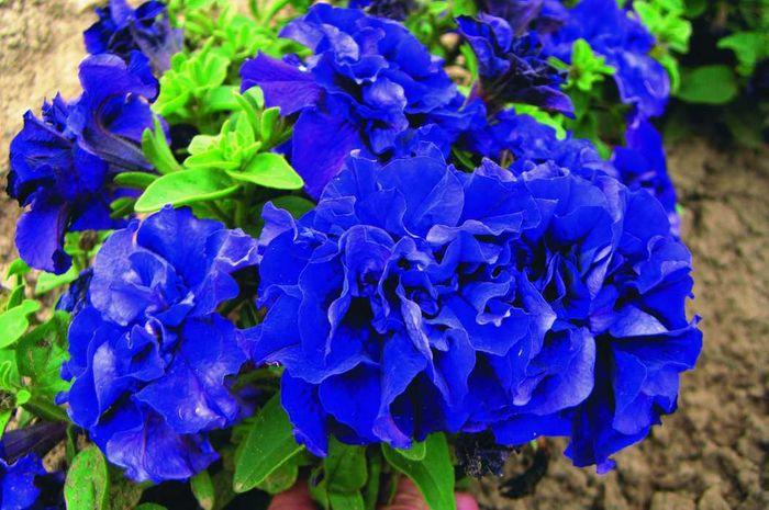 1837 Цветок Петуния