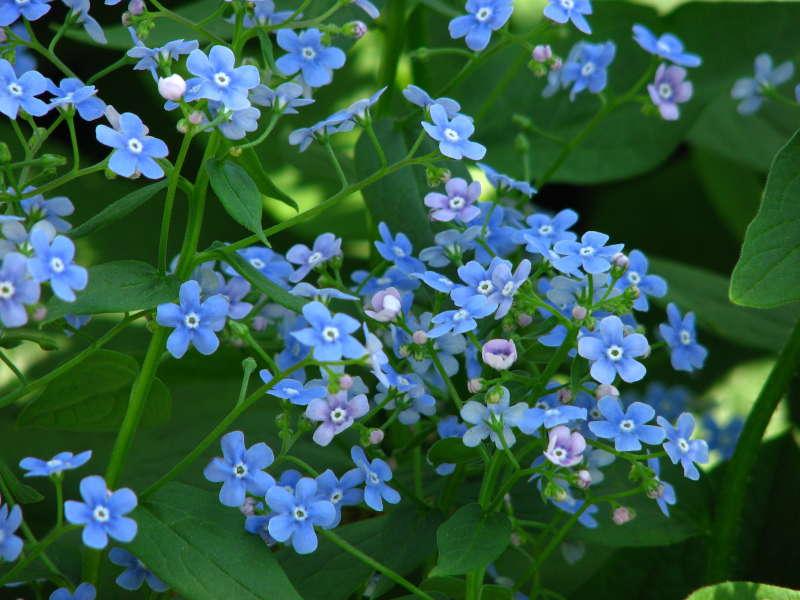 Цветок Бруннера