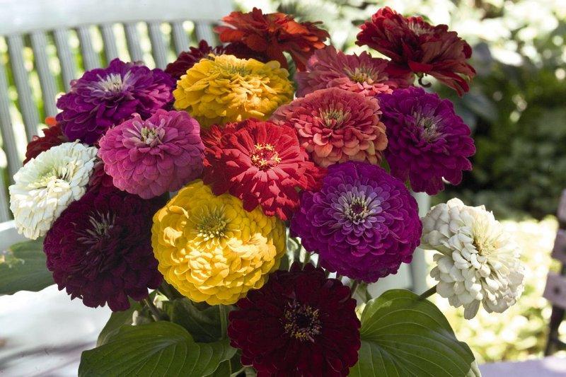 1841 Цветок Циния
