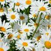1778 Цветок Ромашка
