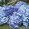 Цветок Гортензия фото - pyp 100x100