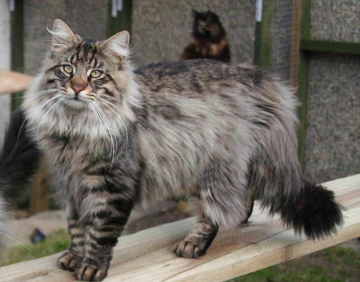 Кошка, порода Норвежская лесная