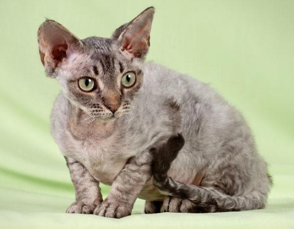 Кошка, порода Девон-рекс