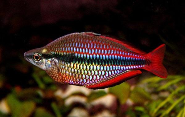 Аквариумная рыбка Радужница трехполосая.