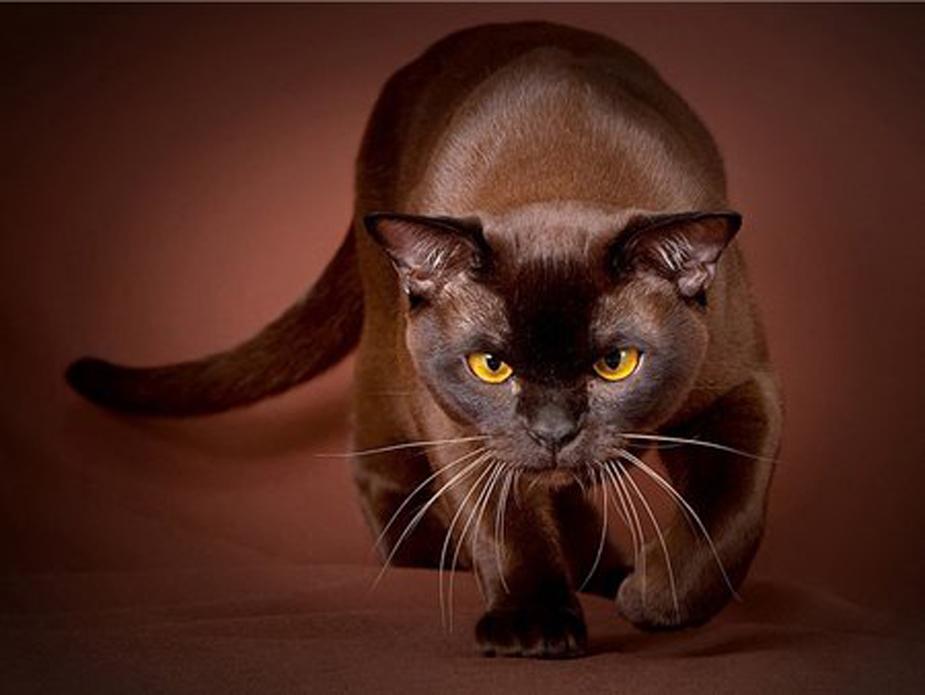 Кошка, порода Швейцарская Горная или Гавана (Браун)