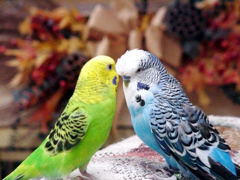 2093 Волнистый попугайчик