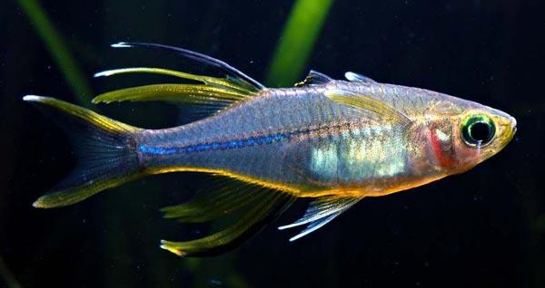Аквариумная рыбка Солнечный лучик (Атерина ладигези).