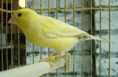 Попугай Канарейка