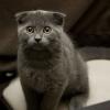 Кошка, порода Шотландская вислоухая