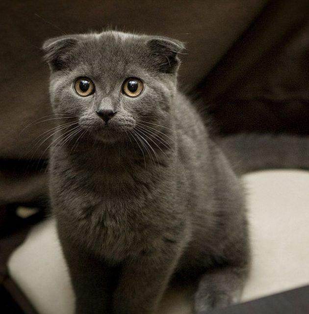1715 Кошка, порода Шотландская вислоухая