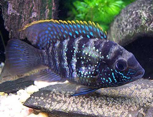 Аквариумная рыбка Акара голубовато-пятнистая.