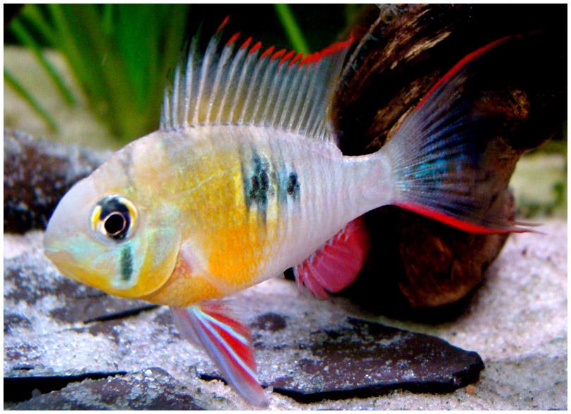 2141 Аквариумная рыбка Апистограмма альтиспиноза.