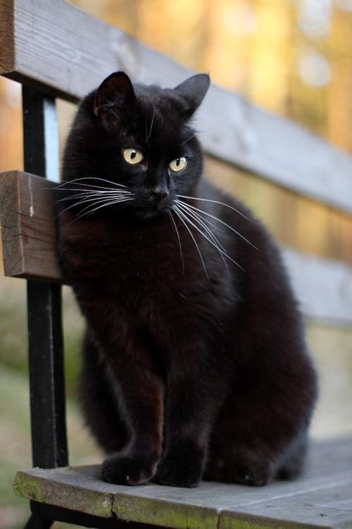 Кошка, порода Бомбей