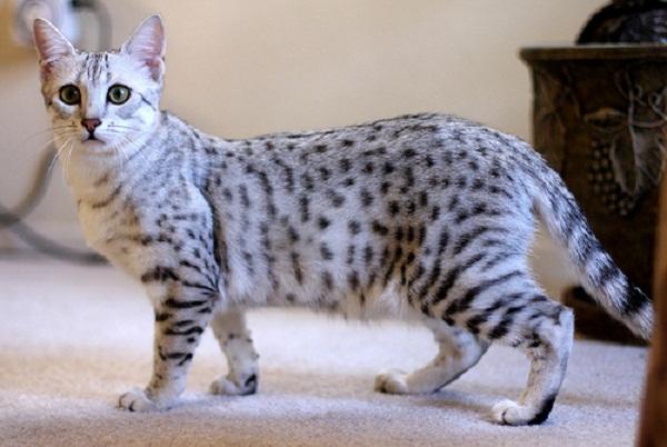 Кошка, порода Египетская мау