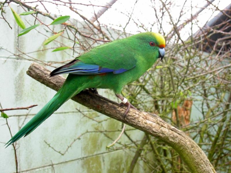 Новозеландский горный прыгающий попугай