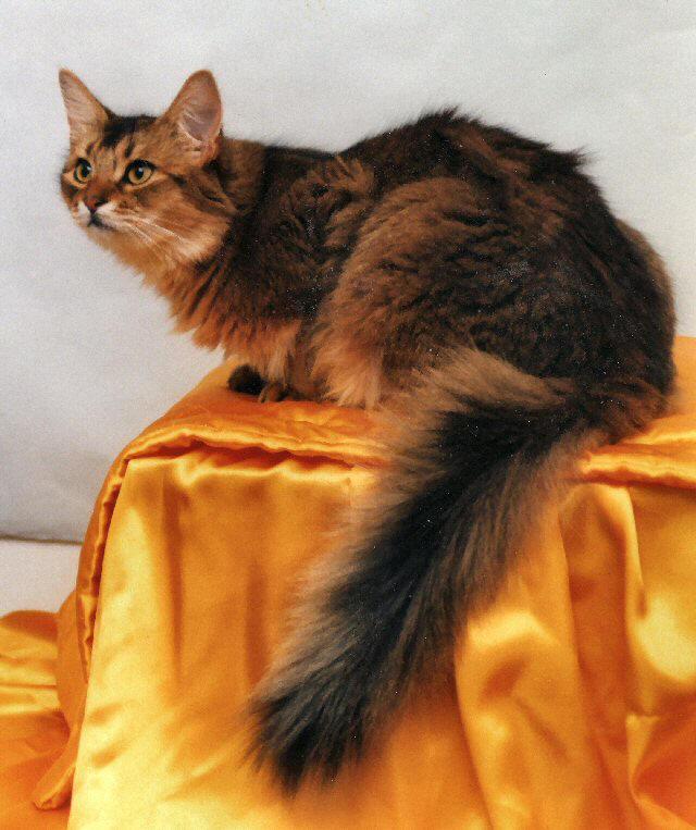 Кошка, порода Сомалийская