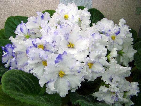 1829 Цветок Фиалка